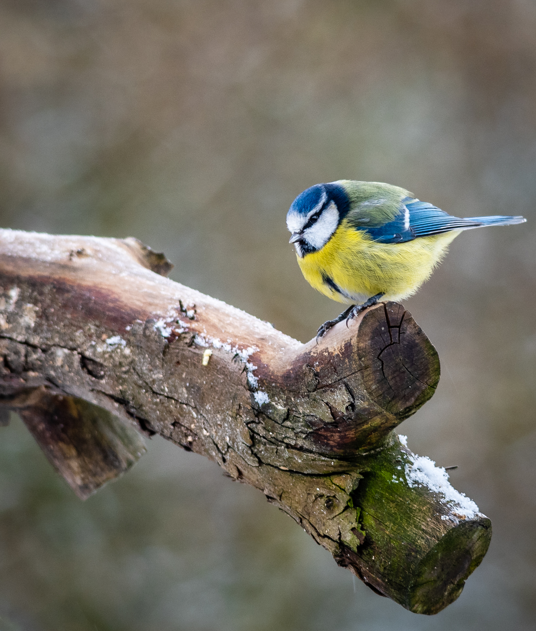 blue tit apr 19